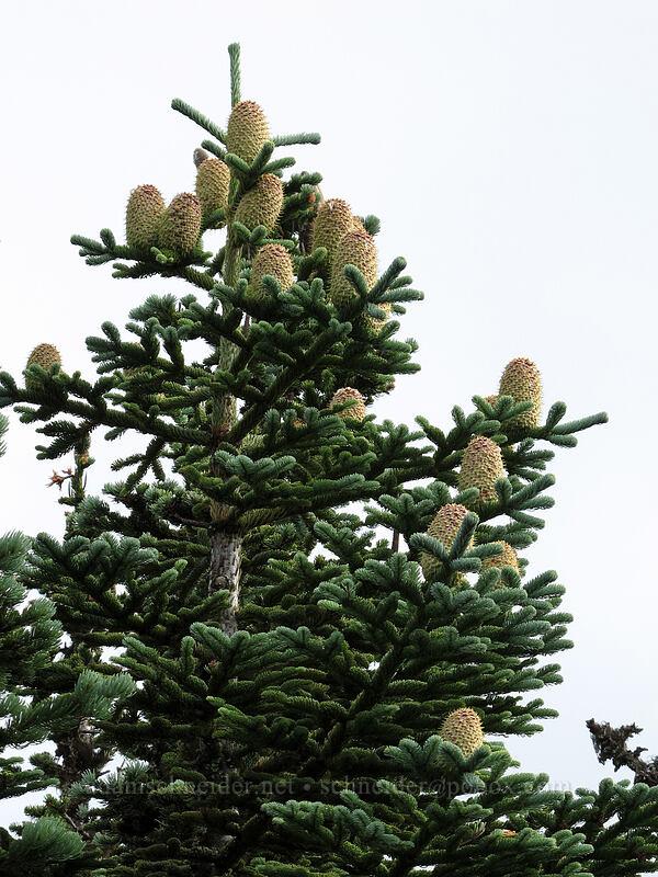 noble fir cones (Abies procera) [Mt. Defiance summit, Columbia River Gorge, Oregon]