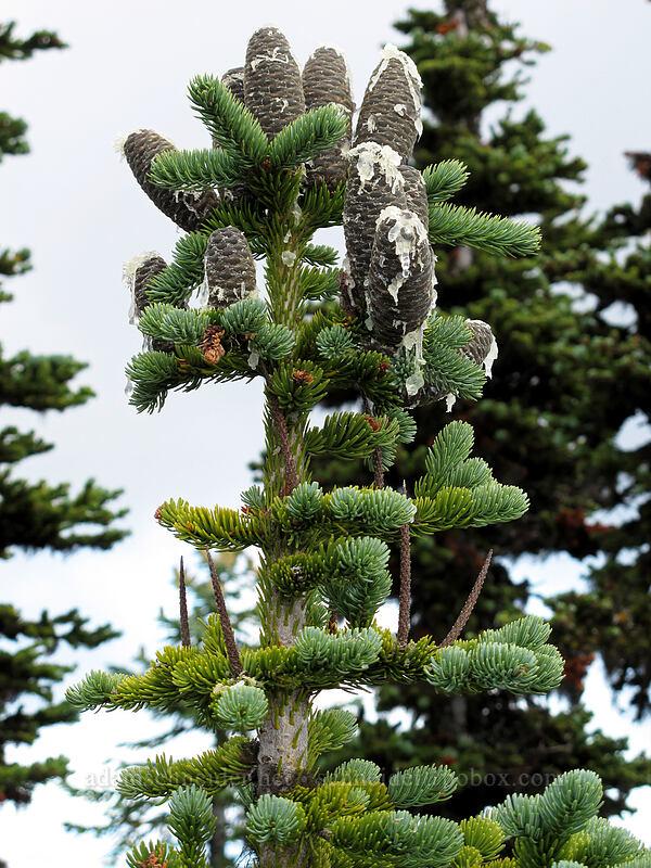 subalpine fir cones (Abies lasiocarpa) [Mt. Defiance summit, Columbia River Gorge, Oregon]