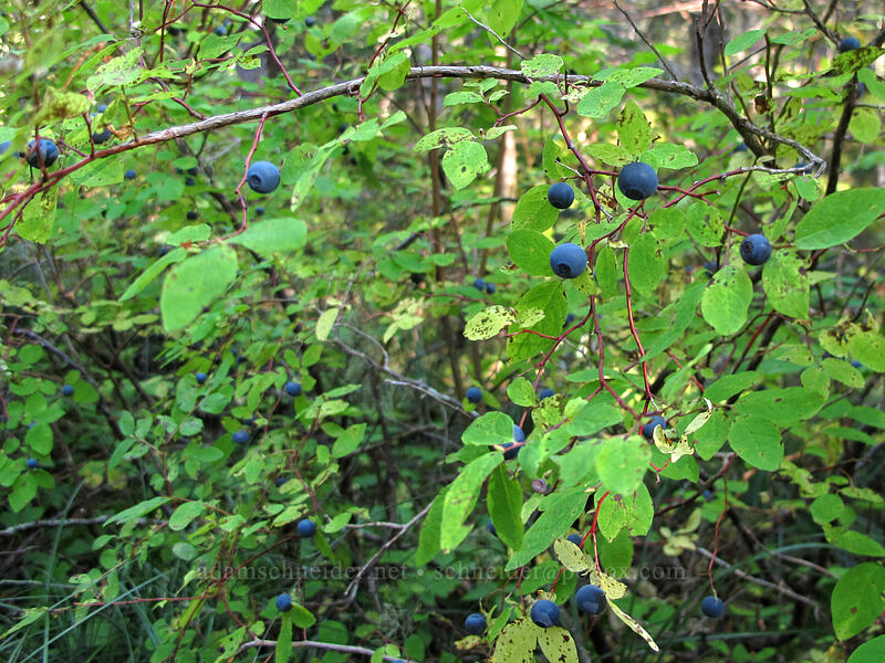huckleberries (Vaccinium sp.) [Toutle Trail, Mt. St. Helens National Volcanic Monument, Washington]