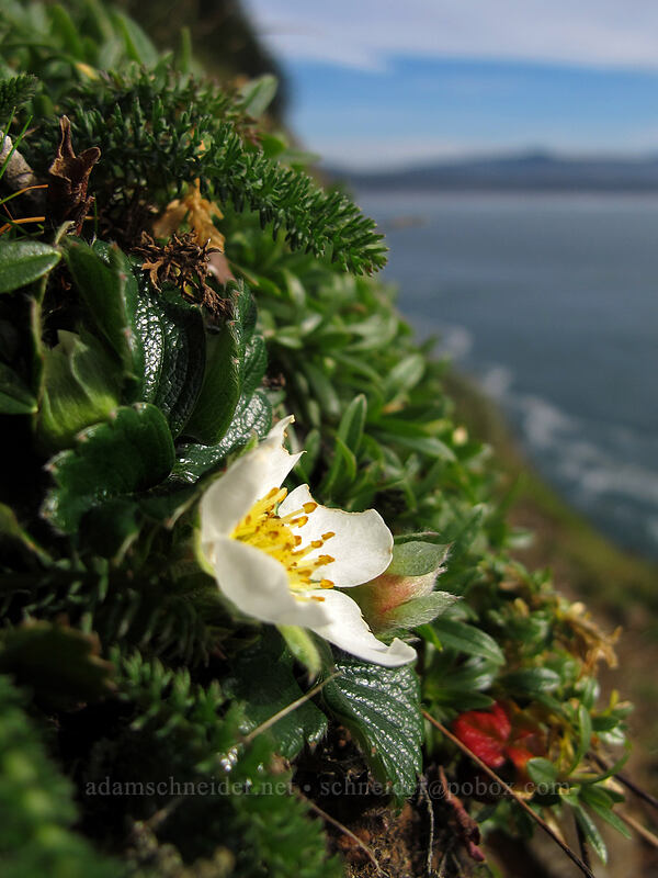 beach strawberry flower (Fragaria chiloensis) [Cape Lookout State Park, Tillamook County, Oregon]