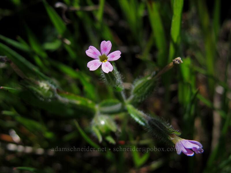 midget phlox (Microsteris gracilis) [Tom McCall Preserve, Wasco County, Oregon]