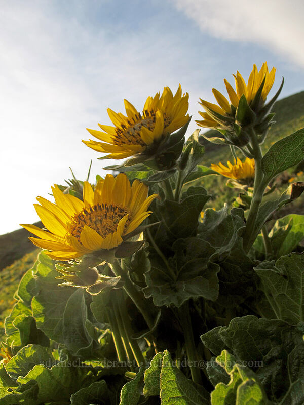 balsamroot (Balsamorhiza sp.) [Dog Mountain Trail, Skamania County, Washington]