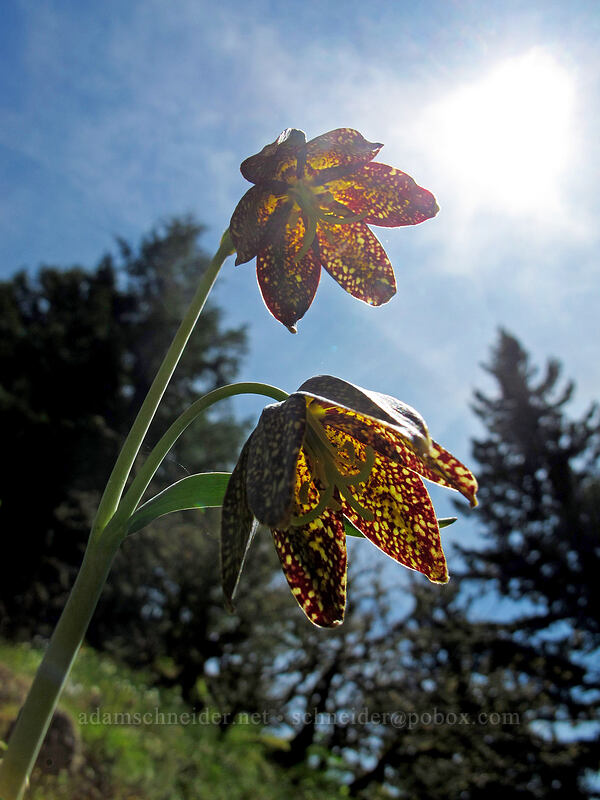 checker lilies (Fritillaria affinis) [Munra Point Trail, Columbia River Gorge, Oregon]