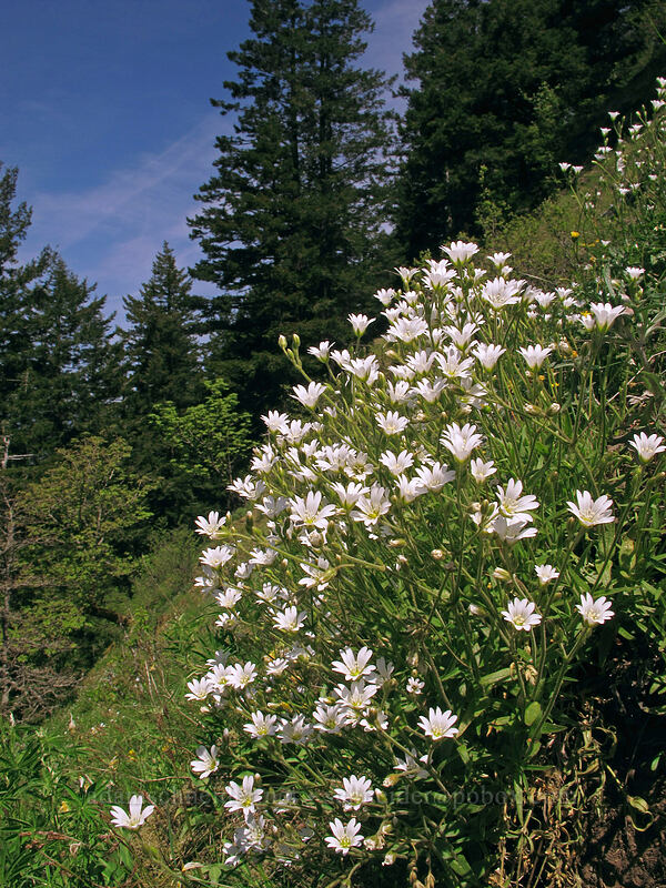 field chickweed (Cerastium arvense) [Munra Point, Columbia River Gorge, Oregon]