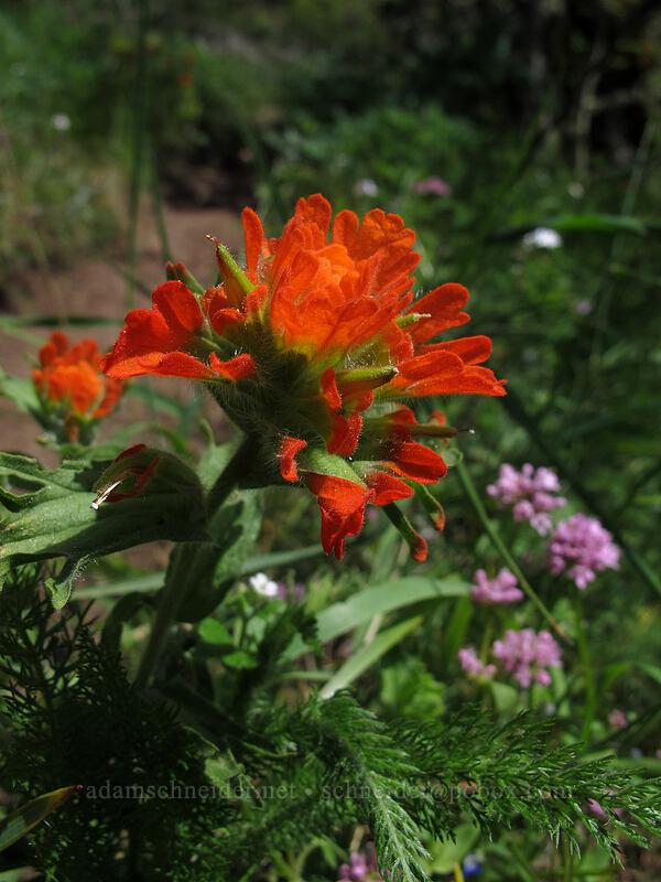 paintbrush & rosy plectritis (Castilleja sp., Plectritis congesta) [Munra Point Trail, Columbia River Gorge, Oregon]