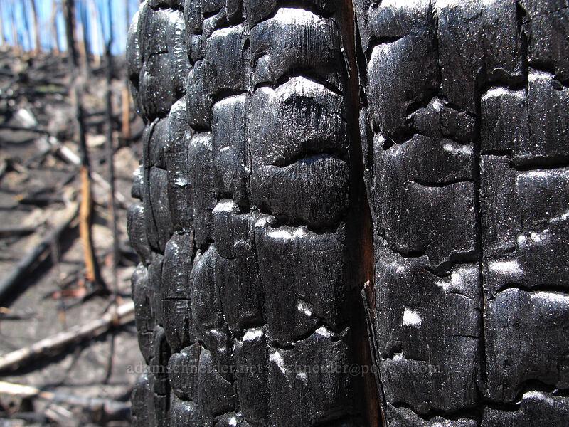 bark turned to charcoal [Vista Ridge Trail, Mt. Hood Wilderness, Oregon]