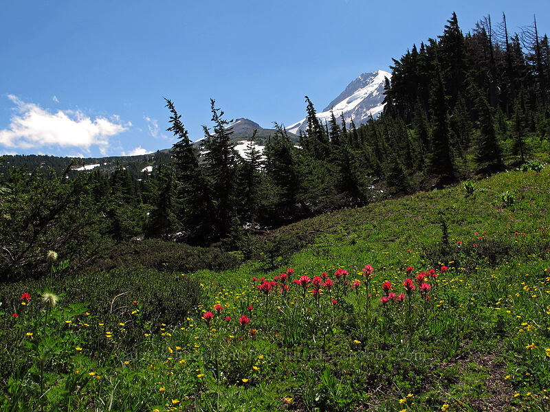 Mount Hood & paintbrush (Castilleja sp.) [Vista Ridge Trail, Mt. Hood Wilderness, Oregon]