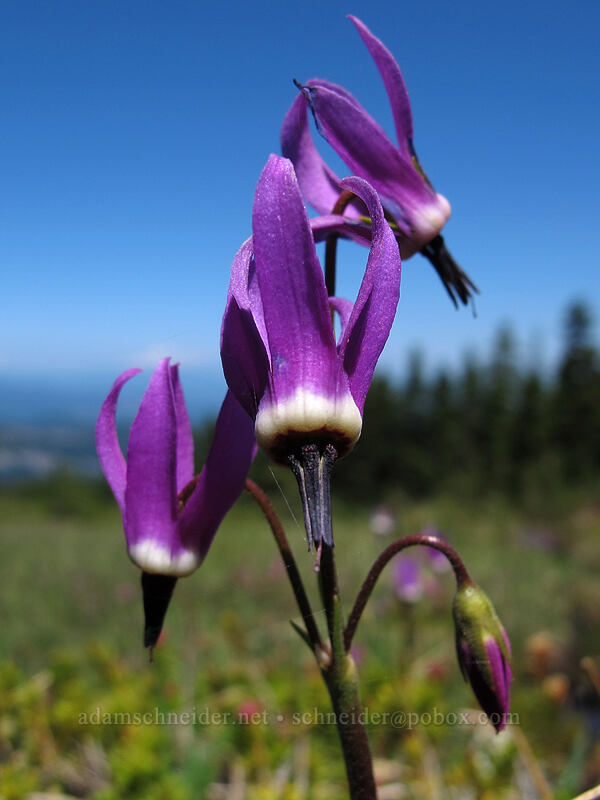 tall mountain shooting stars (Dodecatheon jeffreyi) [Wy'east Basin, Mt. Hood Wilderness, Oregon]