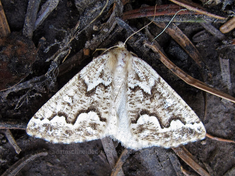 moth [Wy'east Basin, Mt. Hood Wilderness, Oregon]
