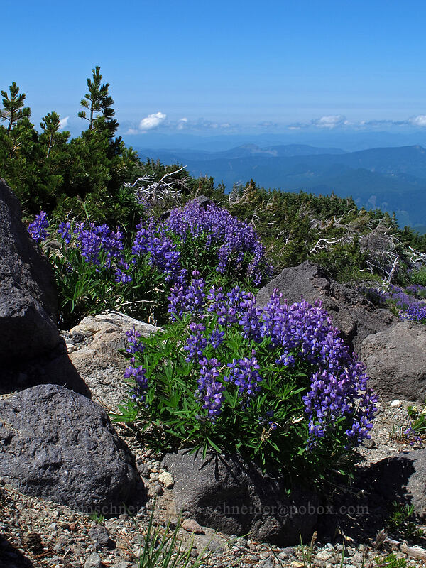 lupines (Lupinus latifolius) [above Wy'East Basin, Mt. Hood Wilderness, Oregon]