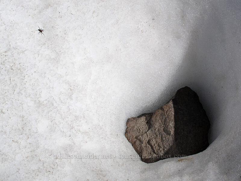 snow-dwelling spider [Ladd Glacier, Mt. Hood Wilderness, Oregon]