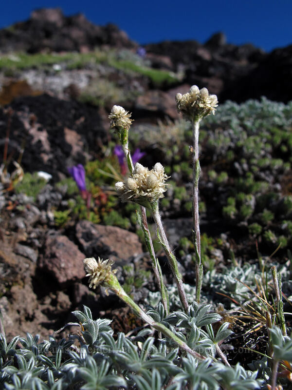 alpine pussytoes (Antennaria media) [Barrett Spur, Mt. Hood Wilderness, Oregon]