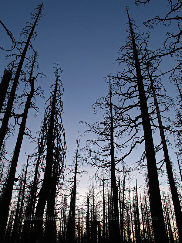 burnt trees at sunset [Vista Ridge Trail, Mt. Hood Wilderness, Oregon]