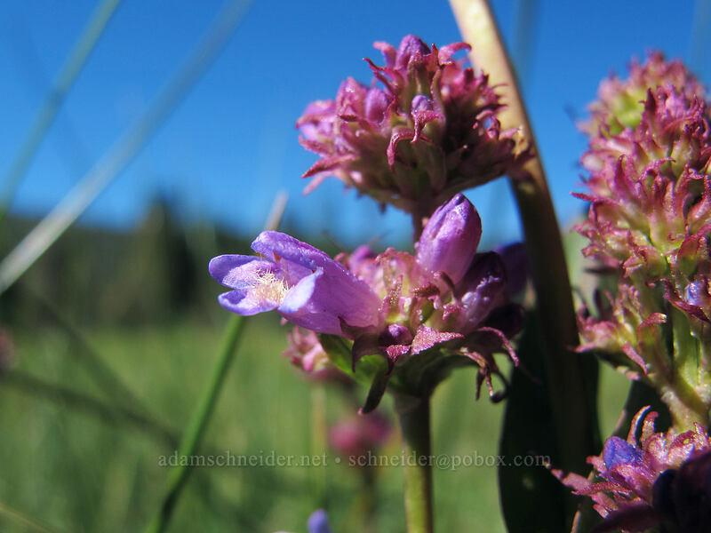 meadow beardtongue (Penstemon rydbergii var. oreocharis) [Drakesbad Meadow, Lassen Volcanic National Park, California]