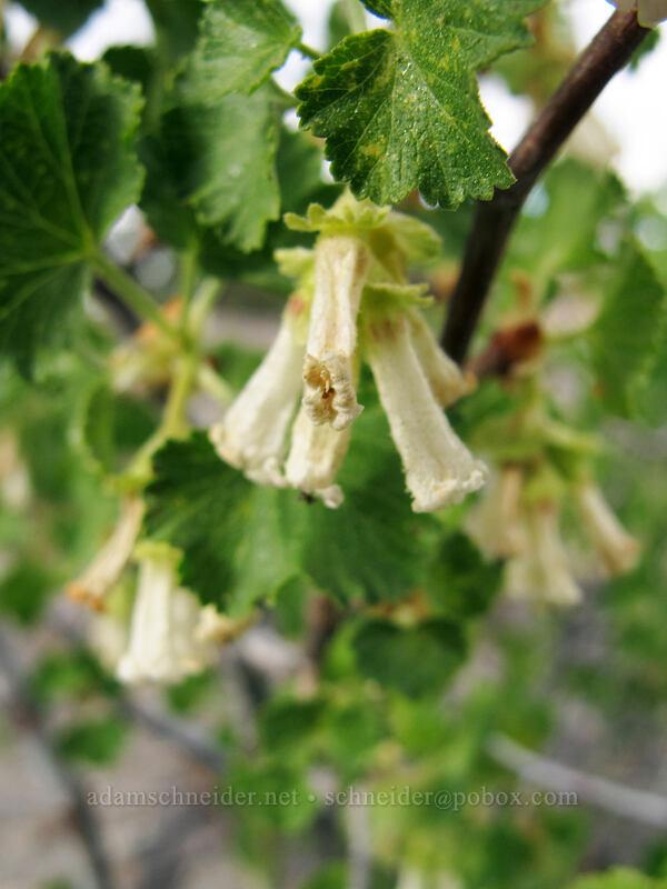 wax currant (Ribes cereum) [Hat Lake Trailhead, Lassen Volcanic National Park, California]