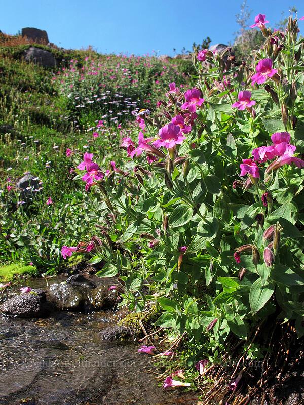 Lewis' monkeyflower (Erythranthe lewisii (Mimulus lewisii)) [Timberline Trail, Mt. Hood Wilderness, Oregon]