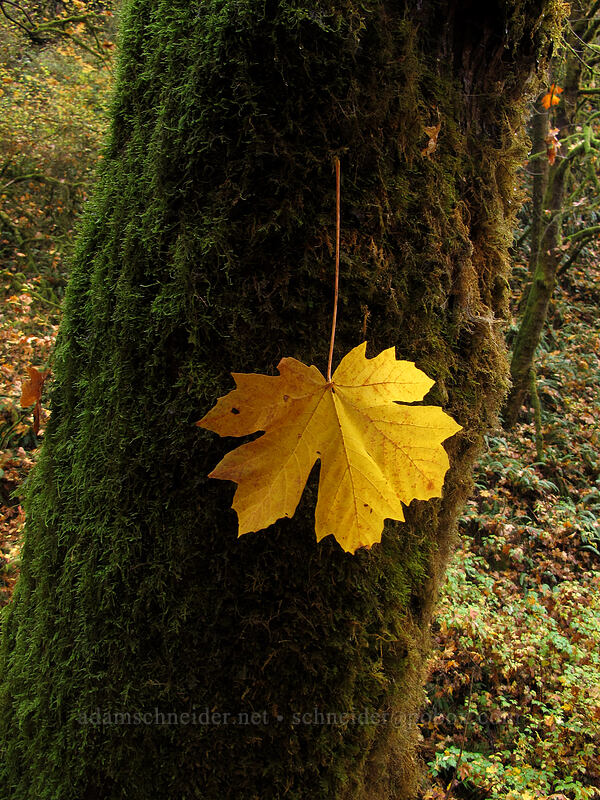 bigleaf maple leaf caught in moss (Acer macrophyllum) [Canyon Trail, Silver Falls State Park, Oregon]