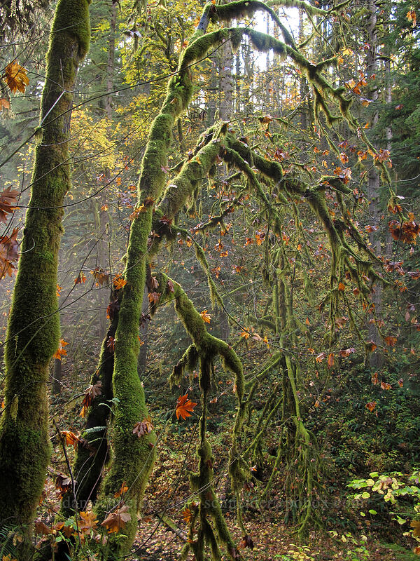 moss-covered maples (Acer macrophyllum) [Canyon Trail, Silver Falls State Park, Oregon]