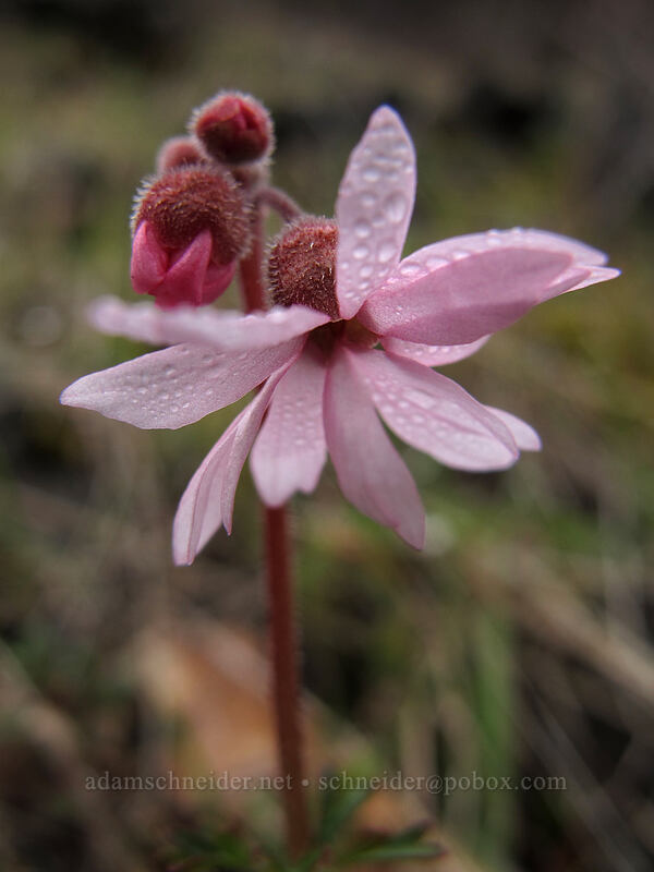 smooth prairie star (Lithophragma glabrum) [The Labyrinth, Klickitat County, Washington]