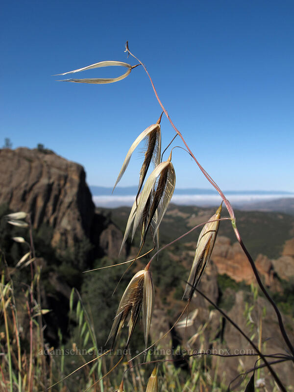 wild oats (Avena sp.) [Juniper Canyon Trail, Pinnacles National Park, California]