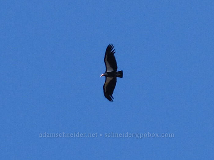 California condor (Gymnogyps californianus) [High Peaks Trail, Pinnacles National Park, California]