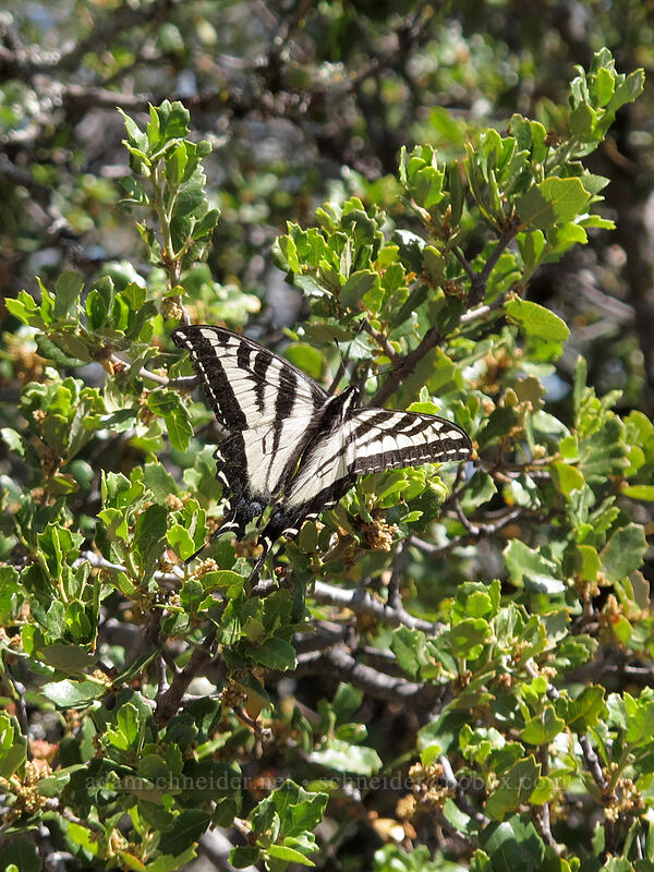 pale swallowtail butterfly (Papilio eurymedon) [High Peaks Trail, Pinnacles National Park, California]
