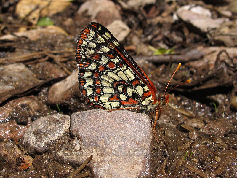variable checkerspot butterfly (Euphydryas chalcedona) [Balconies Cave Trail, Pinnacles National Park, California]
