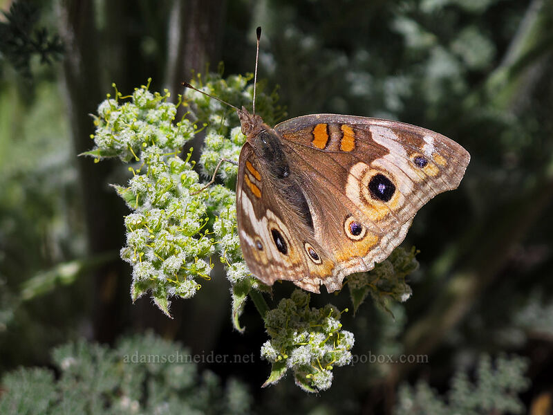 buckeye butterfly on woolly-fruit desert parsley (Junonia coenia, Lomatium dasycarpum) [Balconies Trail, Pinnacles National Park, California]