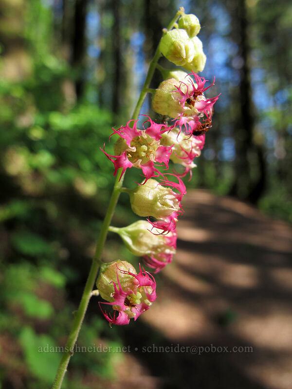 fringe cup (Tellima grandiflora) [Hamilton Mountain Trail, Beacon Rock State Park, Washington]