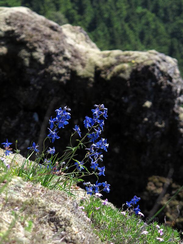 larkspur (Delphinium sp.) [Little Hamilton Mountain, Beacon Rock State Park, Washington]