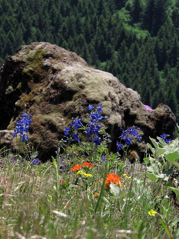 wildflowers [Little Hamilton Mountain, Beacon Rock State Park, Washington]