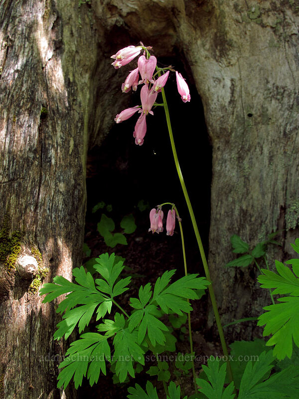bleeding hearts in front of a tree (Dicentra formosa) [Hardy Creek Trail, Beacon Rock State Park, Washington]