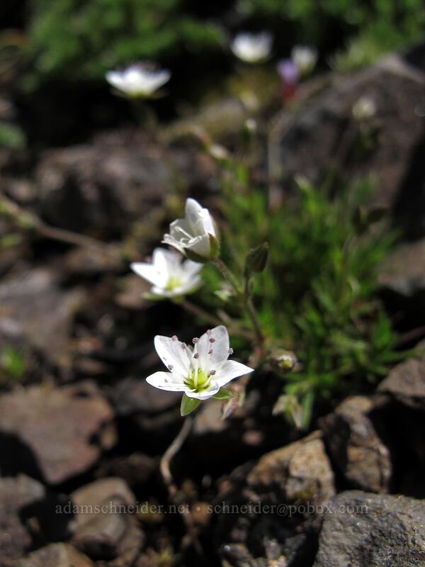 boreal sandwort (Minuartia rubella) [Saddle Mountain Trail, Clatsop County, Oregon]