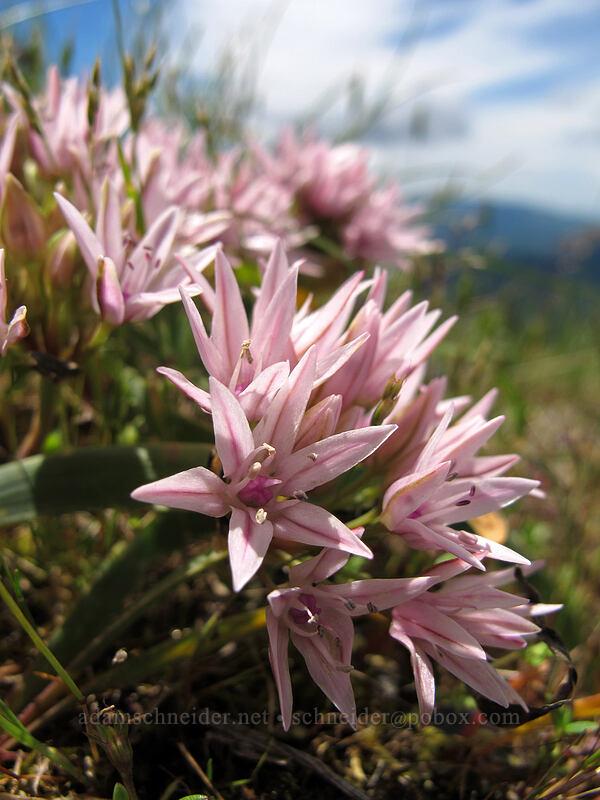 scalloped onion (Allium crenulatum) [Saddle Mountain Trail, Clatsop County, Oregon]