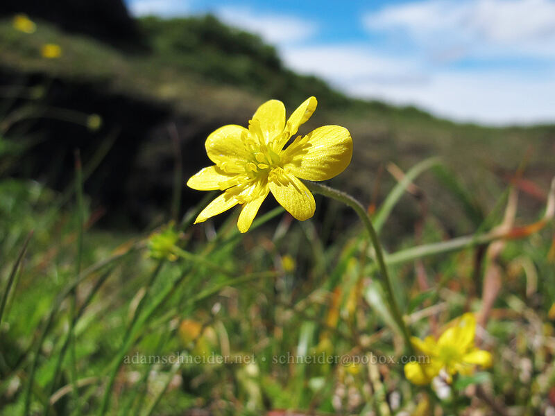 buttercup with too many petals (Ranunculus occidentalis) [Saddle Mountain Trail, Clatsop County, Oregon]