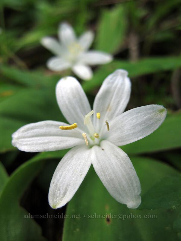 bead lily (Clintonia uniflora) [Saddle Mountain Trail, Clatsop County, Oregon]