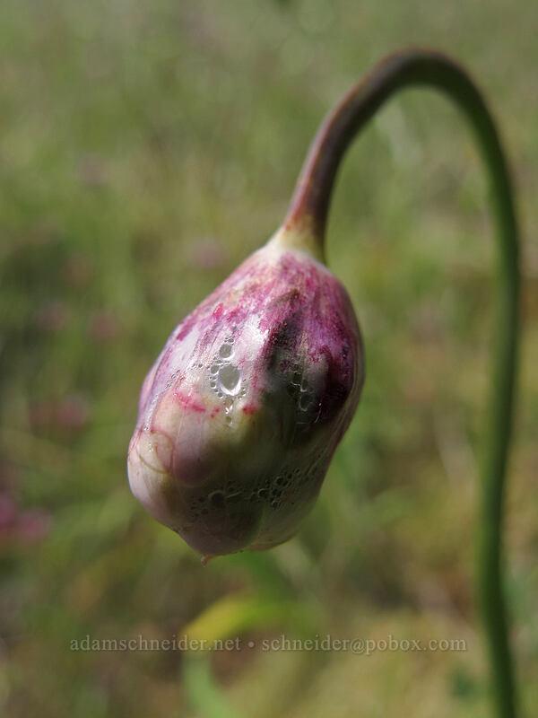 nodding onion, getting ready to bloom (Allium cernuum) [Saddle Mountain Trail, Clatsop County, Oregon]