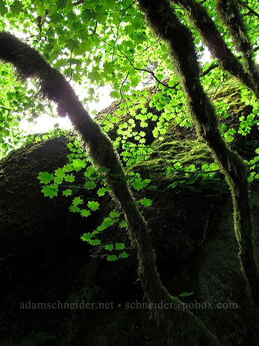 vine maples & mossy branches (Acer circinatum) [Saddle Mountain Trail, Clatsop County, Oregon]