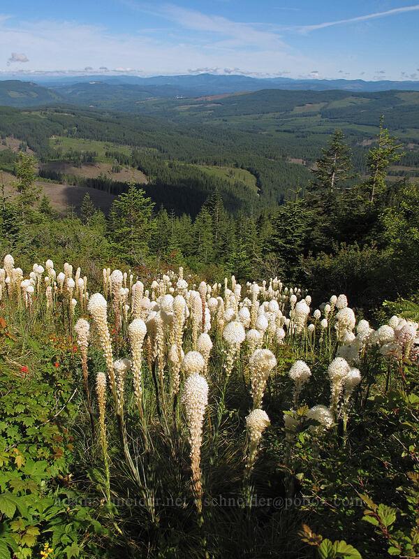 beargrass (Xerophyllum tenax) [Silver Star Mountain trailhead, Gifford Pinchot Nat'l Forest, Washington]