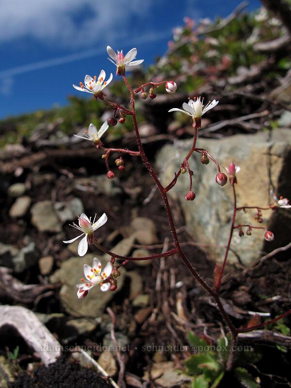 rusty saxifrage (Saxifraga ferruginea) [Ed's Trail, Silver Star Mountain, Gifford Pinchot Nat'l Forest, Washington]
