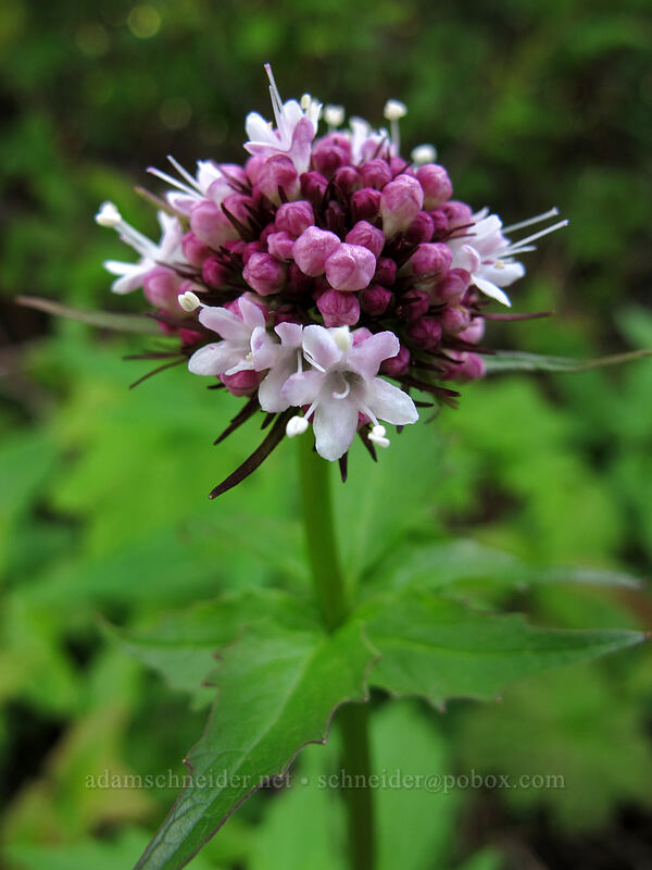 Sitka valerian (Valeriana sitchensis) [Ed's Trail, Silver Star Mountain, Gifford Pinchot Nat'l Forest, Washington]