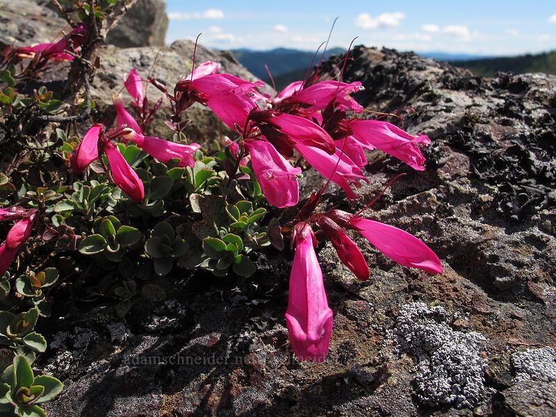 rock penstemon (Penstemon rupicola) [Ed's Trail, Silver Star Mountain, Gifford Pinchot Nat'l Forest, Washington]