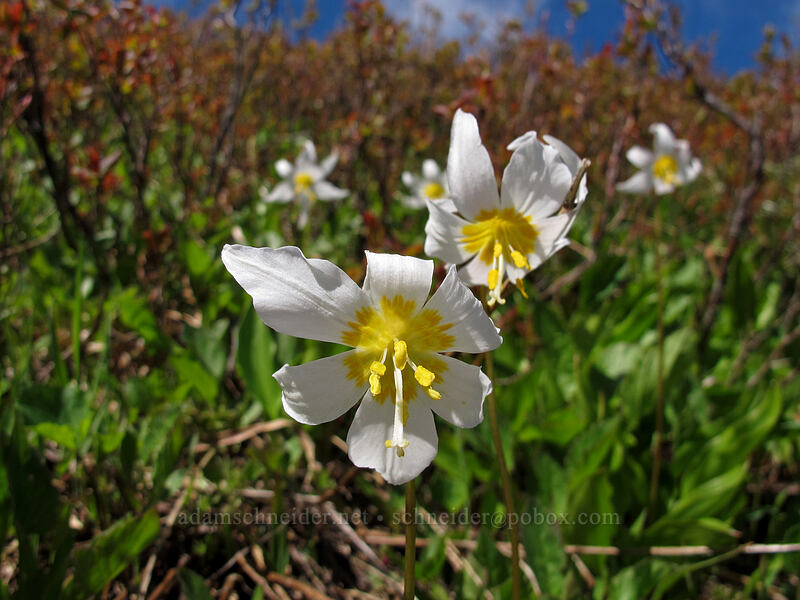 avalanche lilies (Erythronium montanum) [Ed's Trail, Silver Star Mountain, Gifford Pinchot Nat'l Forest, Washington]