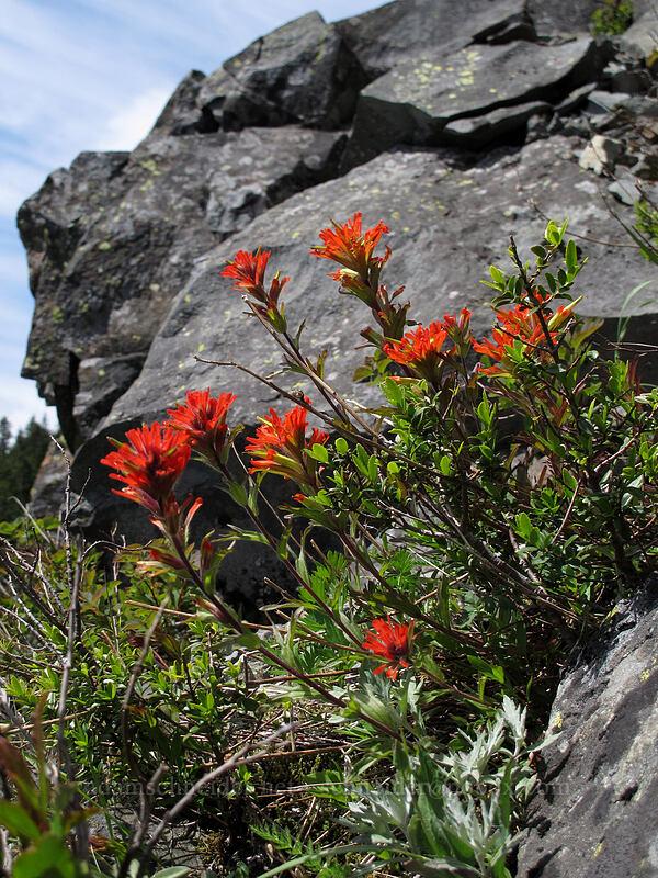 paintbrush (Castilleja hispida) [Ed's Trail, Silver Star Mountain, Gifford Pinchot Nat'l Forest, Washington]