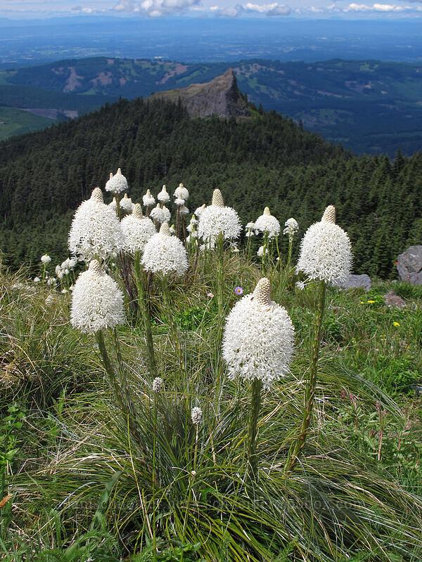 beargrass & Sturgeon Rock (Xerophyllum tenax) [Silver Star Mountain summit, Gifford Pinchot Nat'l Forest, Washington]