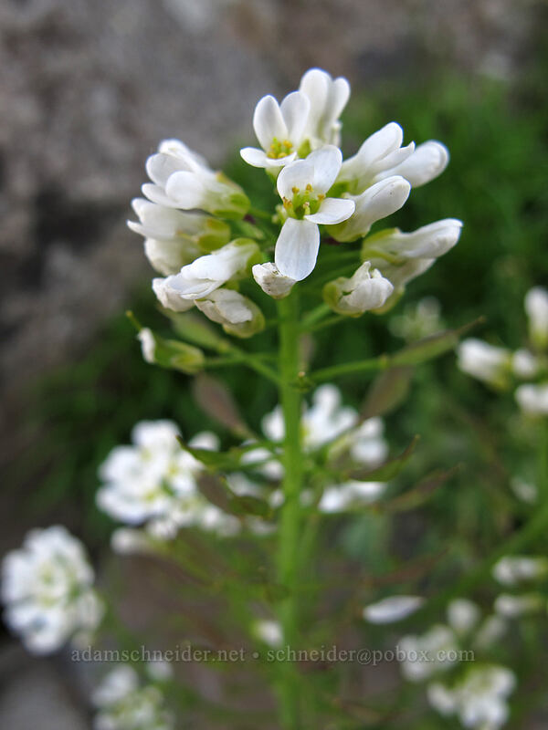 Fendler's pennycress [Silver Star Mountain summit, Gifford Pinchot Nat'l Forest, Washington]