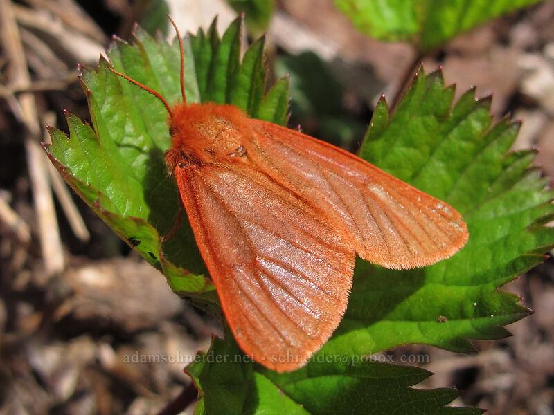 ruby tiger moth (Phragmatobia fuliginosa) [Silver Star Mountain Trail, Gifford Pinchot Nat'l Forest, Washington]