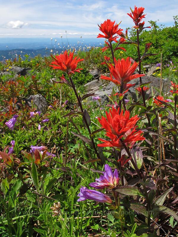 paintbrush (Castilleja hispida) [Silver Star Mountain Trail, Gifford Pinchot Nat'l Forest, Washington]