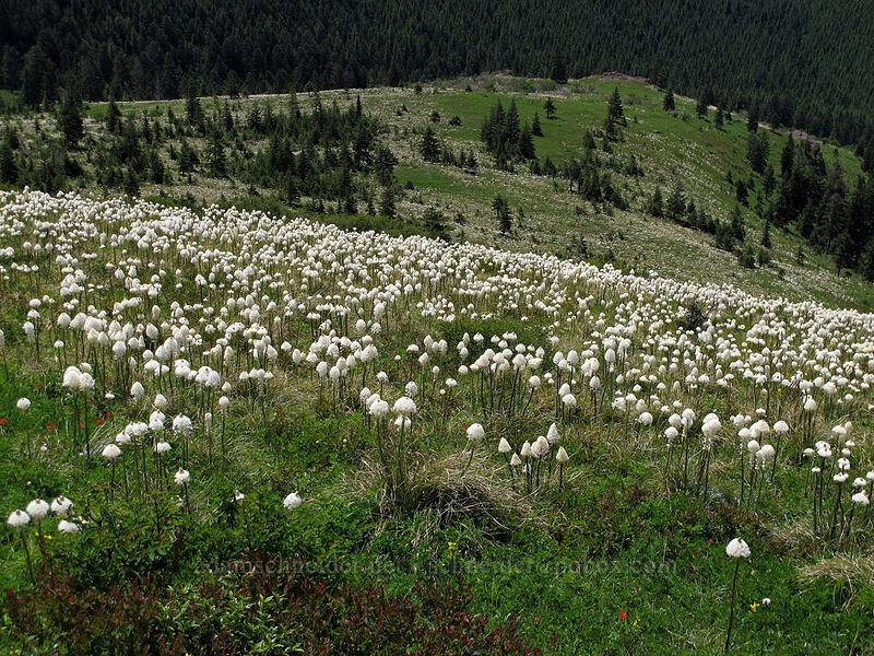 beargrass (Xerophyllum tenax) [Silver Star Mountain Trail, Gifford Pinchot Nat'l Forest, Washington]
