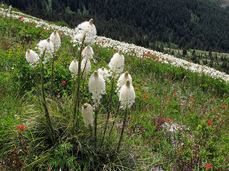 beargrass (Xerophyllum tenax) [Silver Star Mountain Trail, Gifford Pinchot Nat'l Forest, Washington]